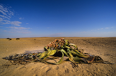 Welwitschia (Welwitschia mirabilis) female with cones and a cascade of seeds that will disperse into the wind and will hopefully give birth to new life into the Namib desert, Namibia