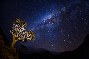 A quiver tree (Aloidendron dichotomum) at night with stars in the sky, Namib desert, Namibia