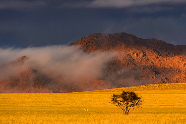 An unusually foggy and cloudy winter morning in the Naukluft National Park, with a small Vachellia (Acacia) tree and a Springbok (Antidorcas marsupialis) in the dry grass plains, Namibia