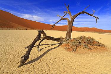 Dead Camel thorn tree (Vachellia erioloba), Sossusvlei, Namib Naukluft Park, Namib Desert, Namibia