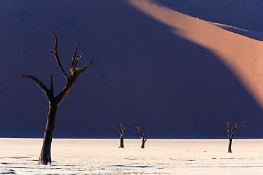 Deadvlei with dead Camel thorn trees (Vachellia erioloba), Namib-Naukluft National Park, Namib Desert, Namibia