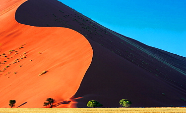 Red sand dunes towering over Acacia trees (Acacia pechuelii) at dawn, Sossusvlei, Namib Naukluft Park, Namibia, Africa.