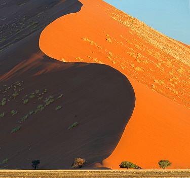 Towering elegant curving red sand dunes rising above acacia trees. Sossusevlei, World Heritage Site, Namibia