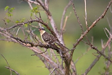 Great spotted cuckoo (Clamator glandarius) perched, Cyprus, April