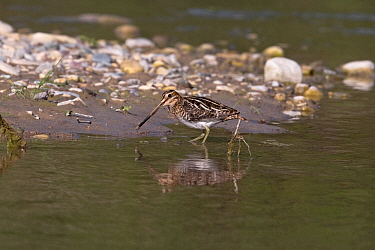 Common snipe (Gallinago gallinago) at water's edge, Cyprus, April
