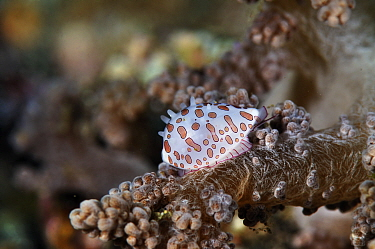 Allied cowrie, ovulid (Diminovula margarita) on soft coral host (Nephthea sp.)  Lembeh Strait, North Sulawesi, Indonesia.