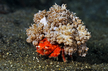 Redspot sponge crab (Lewindromia unidentata), carrying attached soft coral (Xenia sp.)  Lembeh Strait, North Sulawesi, Indonesia.