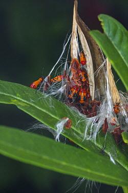Milkweed bug (Oncopeltus fasciatus) North Florida, USA, October.