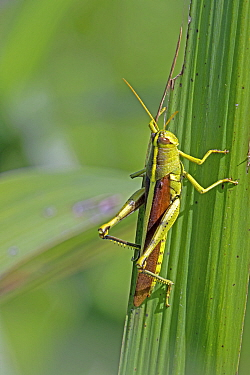 Obscure birdwing grasshopper (Schistocerca obscura) North Florida, USA, October.