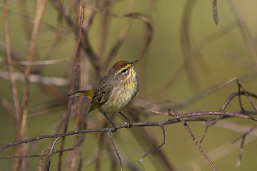 Palm warbler(Dendroica palmarum) perched, North Florida, USA, October.