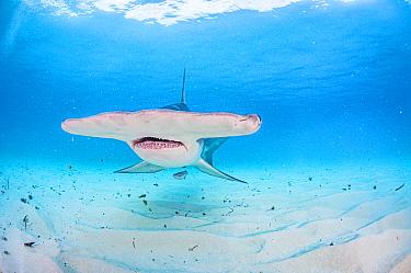 Broad head of a Great hammerhead shark (Sphyrna mokarran) swimming over a sandy seabed, Bimini, Bahamas.