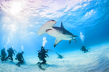 Scuba divers interact with a Great hammerhead shark (Sphyrna mokarran) in Bimini, Bahamas.