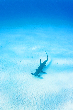 Great hammerhead shark (Sphyrna mokarran) swimming over sand seabed, The Bahamas.