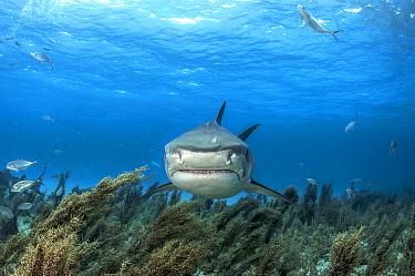 Tiger shark (Galeocerdo cuvier) swimming over sargassum seaweed off Grand Bahama Island, Bahamas.