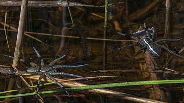Great raft spider (Dolomedes plantarius) left, and fen raft spider (Dolomedes fimbriatus), Finland, May.