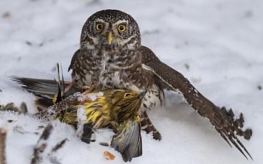 Pygmy owl (Glaucidium passerinum), with Yellowhammer (Emberiza citrinella) prey, Finland, January.