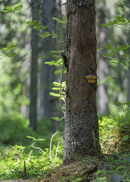 Three-toed woodpecker (Picoides tridactylus), male next to nest hole in tree in forest, Finland, June.