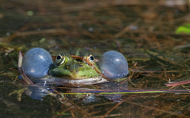 Edible frog (Rana esculenta), male in pond croaking, vocal sacs inflated, Finland, May.