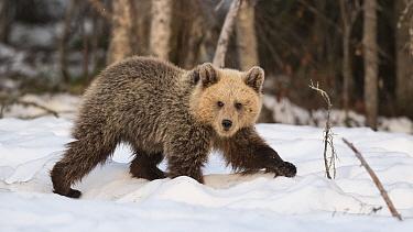 Brown bear (Ursus arctos) walking in snow, Finland, May.