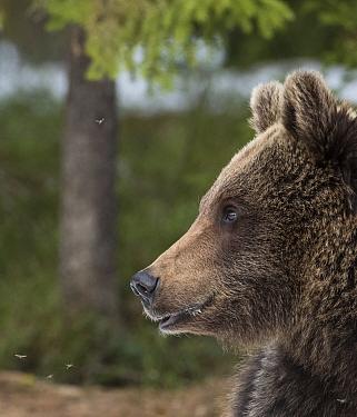 Brown bear (Ursus arctos), portrait, Finland, May.