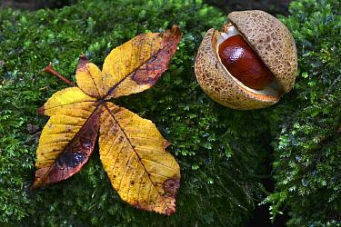 Horse chestnut (Aesculus hipppocastanum) and fallen leaf on moss. Dorset, England, UK September.