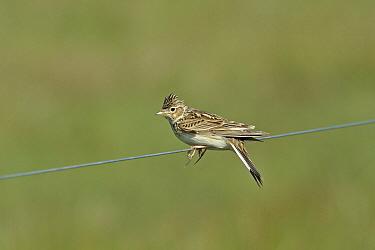 Eurasian skylark (Alauda arvensis) perched on wire, Denmark, May