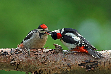 Great spotted woodpecker (Dendrocopos major) male feeding juvenile, Denmark, June