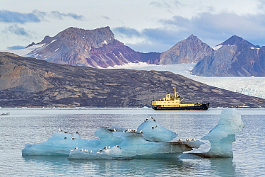 MS Freya in the Kongsfjorden. Kittiwakes (Rissa tridactyla) sitting on a large piece of stranded glacier ice. Svalbard, Norway. September.