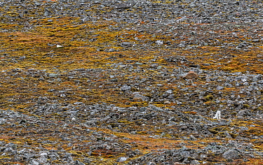 Two arctic foxes (Alopex lagopus) in white winter fur, resting in a moss-covered rock slide. Spitsbergen, Svalbard, Norway.