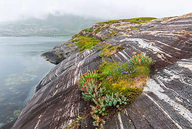 Coastal landscape with marble formations and cushions of roseroot (Rhodiola rosea). Tomma Island, Helgeland Archipelago, Norway. July.