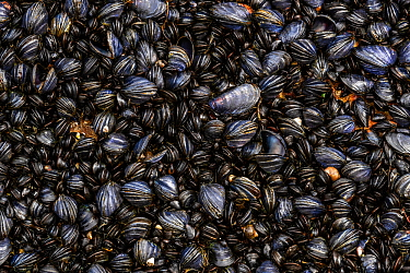 Coastal rocks covered by Blue mussel (Mytilus edulis) shells. Tomma Island, Helgeland Archipelago, Norway.