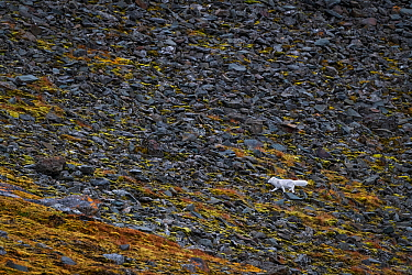 Arctic fox (Alopex lagopus) in white winter coat,walking on a bright-green, moss-covered rock slide. Spitsbergen, Svalbard, Norway. September.