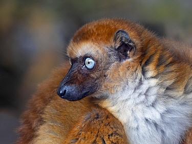Blue-eyed black lemur (Eulemur flavifrons) female portrait, captive, occurs in Madagascar.