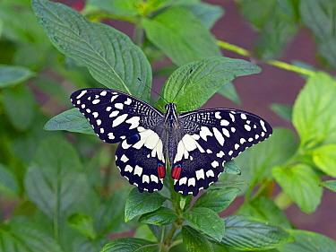 Common lime swallowtail (Papilio demoleus) captive.