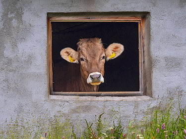 Dairy cow looking out of shed window, Seiser Alm, Dolomites plateau, South Tyrol, Italy, July.