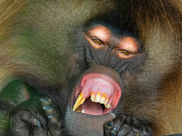 Gelada baboon (Theropithecus gelada) male yawning, showing long incisors. Captive, endemic to Ethiopia.