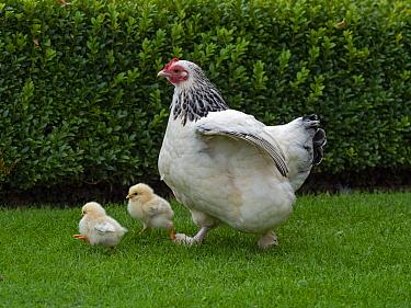 Light Sussex hen with chicks, free range in garden
