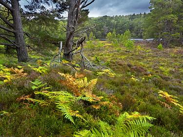 Bracken ( (Pteridium aquilinum), heather (Calluna vulgaris), and Scots pines (Pinus sylvestris) Loch an Eilein, Cairngorms National Park, Scotland, UK, September.
