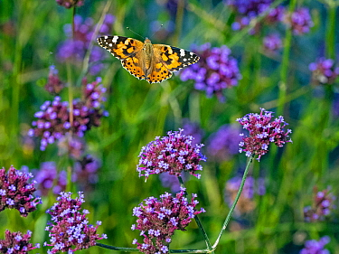 RF - Painted lady butterfly (Cynthia cardui) in flight to feed on verbena flowers (This image may be licensed either as rights managed or royalty free.)