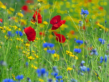 RF - Corn Marigold (Glebionis segetum), with Cornflower (Centaurea cyanus) and Poppy (Papaver rhoeas) in hay meadow (This image may be licensed either as rights managed or royalty free.)