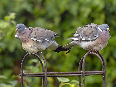 Wood pigeon (Columba palumbus) pair on rose trellis after rain shower, Norfolk, UK. August. (This image may be licensed either as rights managed or royalty free.)