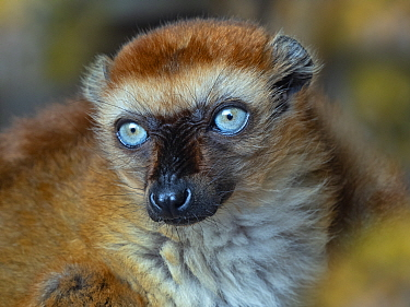 RF - Blue-eyed black lemur (Eulemur flavifrons) female, portrait. Captive. (This image may be licensed either as rights managed or royalty free.)