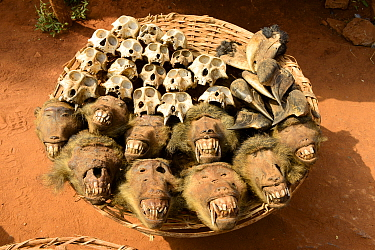 Olive baboon (Papio anubis) heads and skulls for sale alongside hornbills at the voodoo market in Abomey, Benin, West Africa. Any wild animal that runs, flies, jumps or crawls is hunted to supply thes...