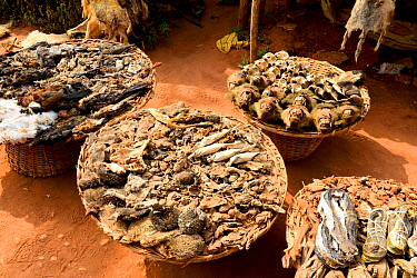 Hornbills, baboons, snakes, birds, chameleons, hedgehogs, frogs and squirrels for sale at the voodoo market in Abomey, Benin, West Africa. Any wild animal that runs, flies, jumps or crawls is hunted t...