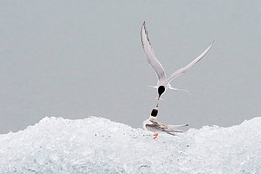 Arctic tern (Sterna paradisaea), adult feeding young. Jokulsarlon glacial lagoon. Iceland. August 2008
