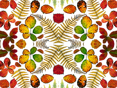 Kaleidoscopic image of Bramble leaves (Rubus fruticosus) and bracken fronds changing colour in autumn, on white background
