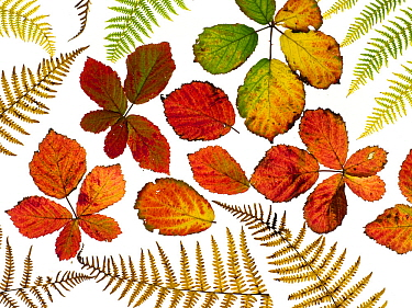 Bramble leaves (Rubus fruticosus) and Bracken fronds changing colour in autumn, arranged on a white background.