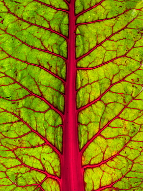 Close up of a Swiss chard (Beta vulgaris) leaf.