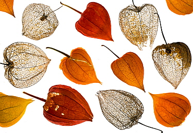 Chinese Lanterns (Physalis alkekengi), old and new from a garden, arranged on a white background.