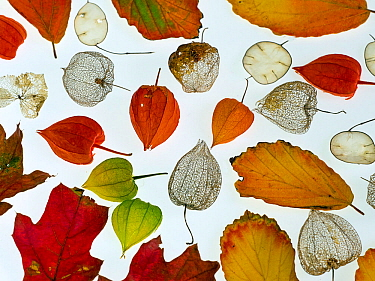 Autumn leaves, Honesty seeds and Chinese lanterns (Physalis alkekengi) from a garden, arranged on a white background.